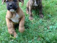 CKC Boxer Puppies. Tails docked and dew claws removed.