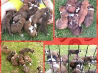 CKC Boxer Puppies born 06/09/2015 Accepting $50.00