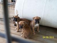 I have 3 Fawn Boxer puppies to choose from, I male and