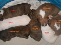 CKC Registered pups available. We are accepting