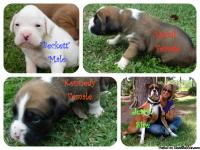 Beautiful CKC boxer pups available. We currently have 3