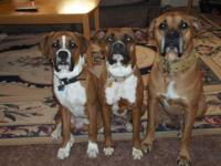 ALL PUPPIES HAVE SOLD!! We have CKC Boxer puppies $500