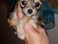 CKC Brown with Black Overlay Longhair Male Chihuahua.