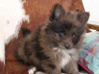 This cuddly little teddy bear is a blue merle with