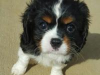 He is a full blooded Cavalier king Charles spaniel. He