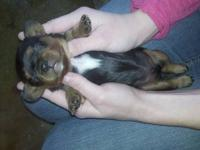 adorable CKC registerable cavalier pups. Vaccinated, de