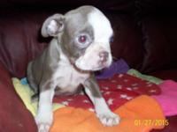 Lovely color provider puppy.Will featured CKC reg