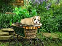 Dottie is CKC Champion Bloodline English Bulldog Pup.