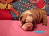 CKC Champion Bloodlines-- Otilia teems with wrinkles
