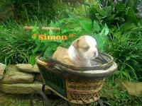Simon is CKC Champion Bloodline English Bulldog Pup. He