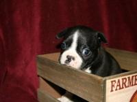 Charming boston terrier female puppy for sale. She is