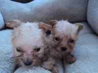 I HAVE A VERY TINY YORKIE/POO MALE WAS BORN 12/24/12