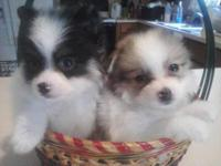 I have 2 gorgeous male chi-a-poms available. One is a