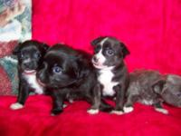 CKC CHIHUAHUAS 1 female & 2 males left.. ready for