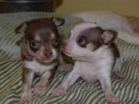 1 Male CKC Chihuahua's 1 black and tan Mom is 2 1/2 lbs