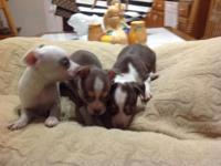 CKC chihuahua for sale females 300:00 male 250:00 come