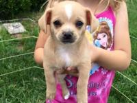 We have 2 litters of CKC Chihuahua babies looking for