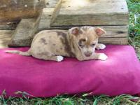 Chihuahua CKC Short Coat Male puppy. Location