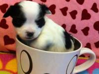 long hair chihuahua puppies 2 trashes born March 13th.