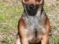 CKC registered Purebred Chihuahua. Sex: Male Markings: