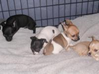 DOB 6/13/2015 CKC papers, 2 shots, wormed and has