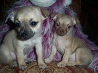We have 2 very cute little chihuahuas ready for their
