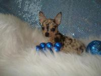 ONLY 1 Blue Merle Male CKC reg. Chihuahua puppy born on