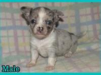 I have 1 beautiful blue merle Chihuahua puppy, 1 white