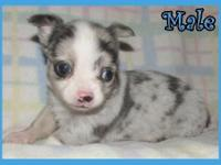 I have 2 beautiful blue merle Chihuahua puppies, 1