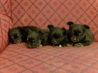 CKC Chihuahua Teacup Pups, small infants! three ladies