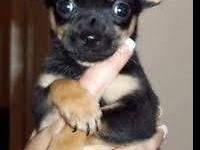 Black/Tri Female CKC Chihuahua young puppy 8 weeks