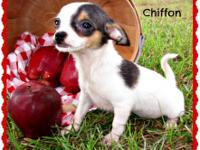 Cute as a button Chihuahua puppies ready now. These
