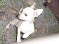 Two Female Chihuahua Puppies for sale! Two of the