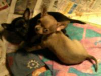 Sweet and loving CKC registered Chihuahua puppies born