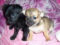 We have two extra cute little chihuahua puppies ready