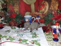 CKC Chihuahua Males $350. Clinic: Poneto, IN. 1 Blue
