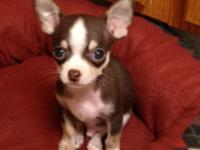 CKC Chihuahua Puppies. 9 weeks old 1st shots and wormed