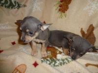 ckc chihuahua puppies, 1st shot and wormed, males 10