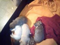 3 ckc chihuahua puppies left  with ckc papers