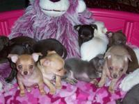We have 10 tiny, cute purebred chihuahua puppies ready