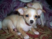 We have several little chihuahua pups looking for their