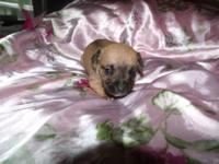 4 Small Ckc chihuahua puppys. 3 females and 1 male.