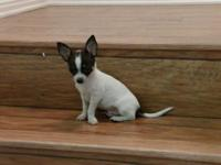 CKC Chihuahua Puppy, little 12 weeks old, white and