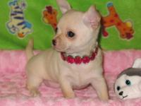 One CKC Chihuahua pup for sale. Born 10/22/2013 this