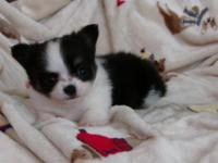 CKC Chihuahua Puppy, Female, black and white longcoat.