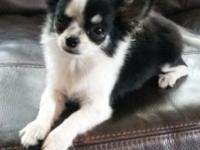 CKC Chihuahua puppy, 7 months old female. Black and
