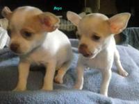 CKC Chihuahua puppies. 2 Males 2 Females, Taking