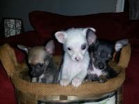 I have three males and one female Chihuahua who are