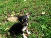 I have two CKC Reg. Male Chihuahua puppies- Teacup