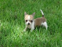 CKC Chihuahua New puppy ... Teacup, will be really